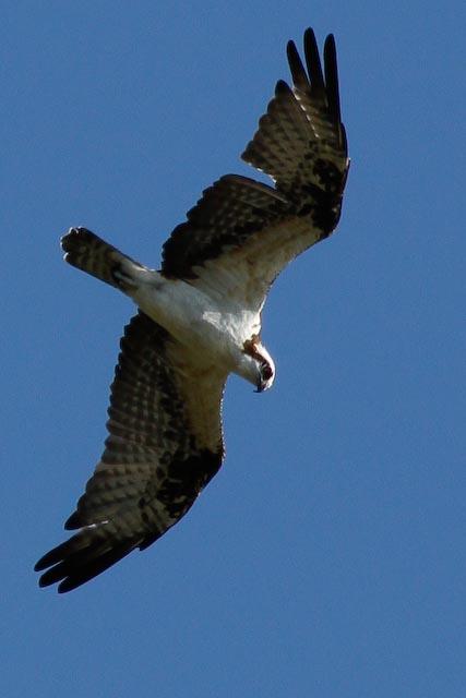 birdfest-osprey-sighting