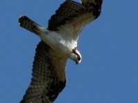 birdfest-osprey-sighting